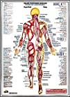 Major Posterior Muscles Chart