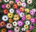 Just Seed - Flower - Mesembryanthemum Harlequin 1500 Seed