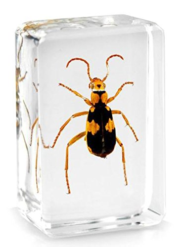 real-tiger-beetle-pisapapeles-de-insectos-taxidermia-specimen-small-block