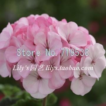 semi-di-geranio-pelargonium-hortorum-semi-di-fiori-freschi-20-semi