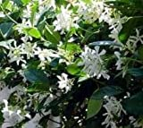 Confederate Jasmine Vine (3 to 4 Year Plants) -- Low Flat Rate Shipping !!