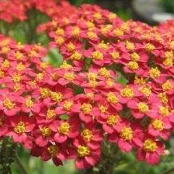 250 Seeds, Red Yarrow (Achillea millefolium rubra) Seeds by Seed Needs