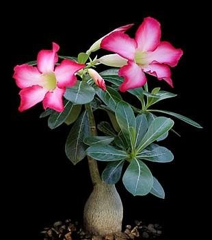 Desert Rose Plant - Natural Bonsai - Adenium obesum-