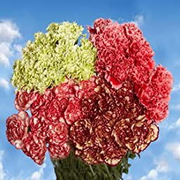 Bulk Novelty Carnations | 400 Novelty Color Carnations