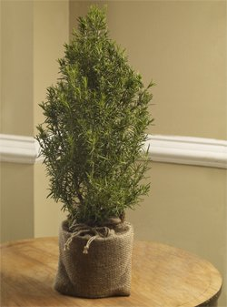 ***Miniature Rosemary Tree**