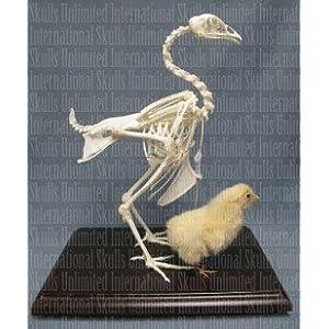 Skeleton (Articulated) (Natural Bone Economy): Industrial & Scientific
