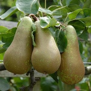 conference-pear-tree-dwarf-tree-for-pots-or-small-gardens