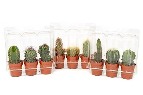 cacti-plant-collection-3-plants-each-in-a-55cm-pot