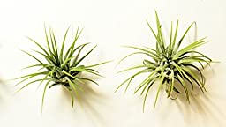 Hinterland Trading Two Pack of Air Plant Tillandsia Bromeliads