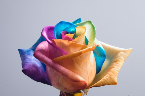 Tie Dye Ecuadorian Roses - 60 Single Stems Individually Sleeved