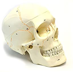 Numbered Human Skull Anatomical Model, Medical Quality, Life Sized (9\