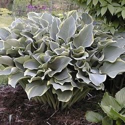 Hosta - Regal Splendor - #1 Container