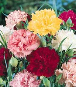 premier-seeds-direct-car01f-carnation-chabaud-mixed-finest-seeds-pack-of-350