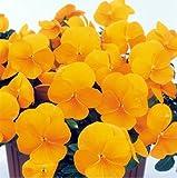 パンジービオラよく咲くスミレ「パイナップル」3株セット