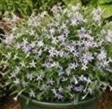 Laurentia - Avante Garde Blue - 15 Seeds