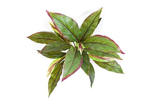 cordyline-decorativa-valda-con-20-foglie-verde-rosso-oe-25-cm-30-cm-pianta-dappartamento-pianta-arti