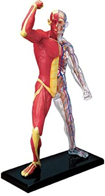 Famemaster 4D-Vision Human Muscle And Skeleton Anatomy Model from Famemaster