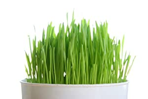 Todd's Seeds, Organic Wheatgrass Seeds, Cat Grass Seeds, One Pound