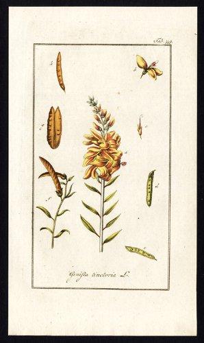 flora-antiguo-theprintscollector-cruzerlite-genista-tinctoria-tintorero-de-escoba-greenweed-aprendiz