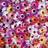 Flower - Kings Seeds - Pictorial Packet - Mesembryanthemum - Kings Sunshine Mixed
