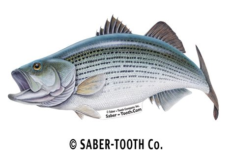 Striped Bass Fish Decal Sticker ~ Fishing & Wildlife Series