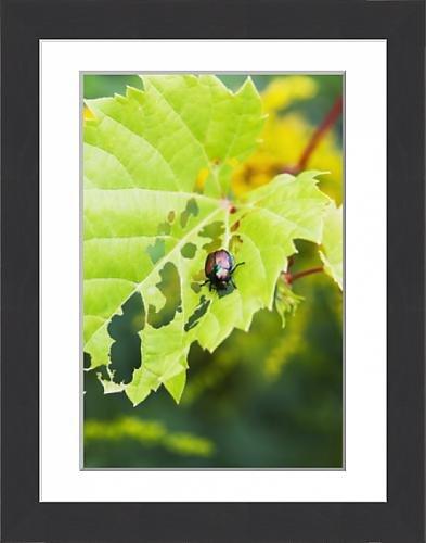 framed-print-of-japanese-beetle-popillia-japonica-skeletonizing-wild-fox-grape-leaves