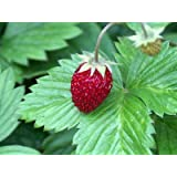 Alpine Strawberry Perennial - 8 Plants - Fragaria