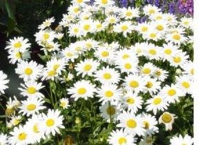 2,700 Shasta Daisy Seeds