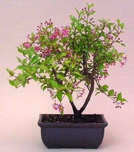 how to grow a cherry tree bonsai