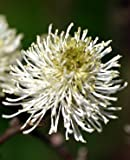 Mount Airy Bottlebrush Shrub - Fothergilla - Hardy - 4