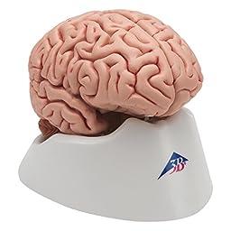 3B Scientific C18 5 Part Classic Brain Model, 5.1\
