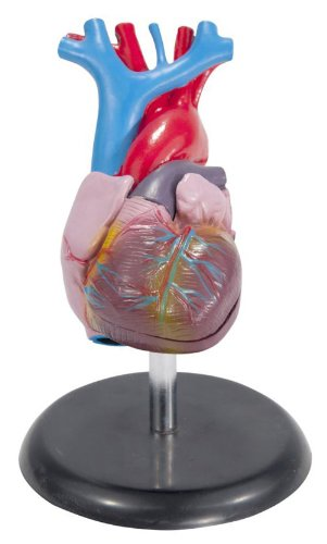 Anatomical Chart Co. Budget Life-Size Heart Model-CH7 (Human Heart Model compare prices)