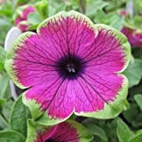 Picasso Petunia Seed Pack