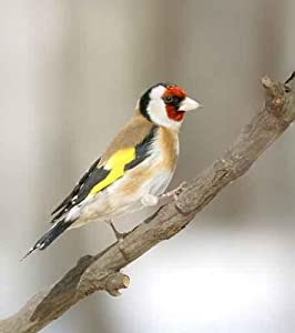 "Goldfinch at the Branch - 18""H x 16""W - Peel and Stick Wall Decal by Wallmonkeys"