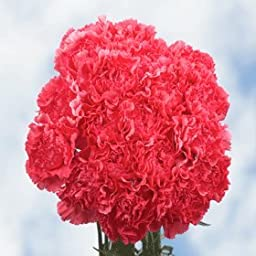 300 Hot Pink Carnations | Fresh Flowers Wholesale Express Delivery | Perfect for Birthdays, Anniversary or any occasion.