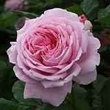 バラ苗 マリーヘンリエッテ 国産大苗裸苗 つるバラ(CL) 四季咲き 大輪 ピンク系
