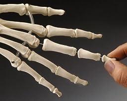 Elastic Hand Demonstration Model Right Hand