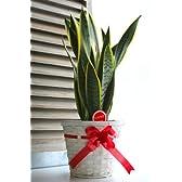 【観葉植物】サンセベリア(サンスベリア・トラノオ)5号鉢・バスケット付き【自然の空気清浄機】
