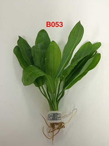 Echinodorus martii (major) - Bundle Plants B053 - BUY 2 GET 1 FREE Live Aquatic Plant Online