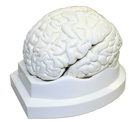 Walter Products B10401-3 Human Brain Model, Life Size, 3 Parts, 6 x 5 x 7.5 Inches (Brain Model compare prices)