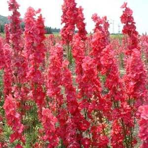 25+ Giant Red Delphinium Flower Seeds /Perennial