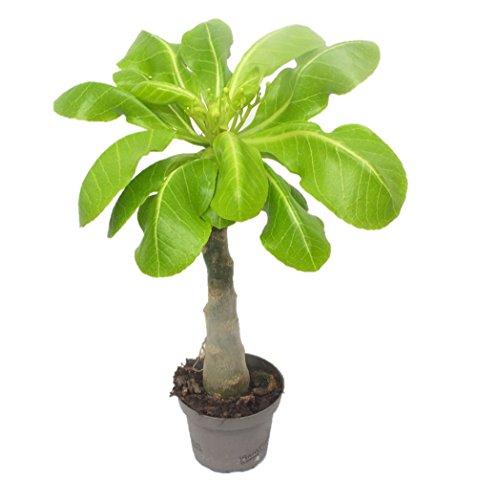 1-hawaii-palme-50cm-brighamia-insignis