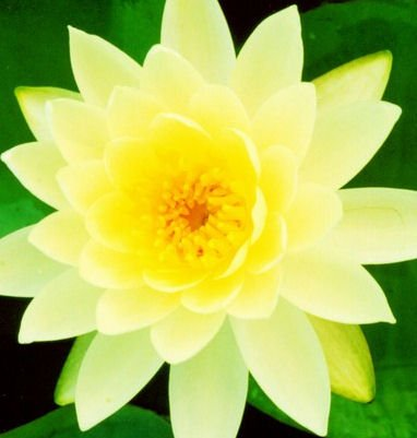 Yellow Hardy Water Lily 'Charlene Strawn'/ Shade Tolerant