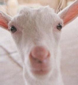 ヤギ飼いになる―飼い方から実例、グッズ、ミルクレシピまで