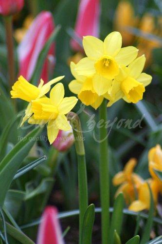 100-bulbos-de-mini-narcisos-multi-flores-tete-a-tete-envio-incluido