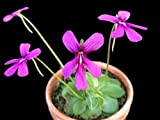 The Amazing Pinguicula -- Mosquito and Small Bug Killing Plant