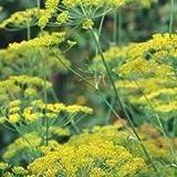 Herb Seeds - Dill Fernleaf - 400 Seeds