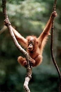 (24x36) Baby Orangutan Monkey Ape Print Poster