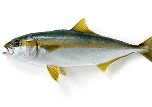 築地魚群 天然 ヒラマサ1尾 国産 2-3kg前後サイズ