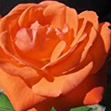Orange Sensation Floribunda Rose - BARE ROOT Rose Rosa - Gift Idea